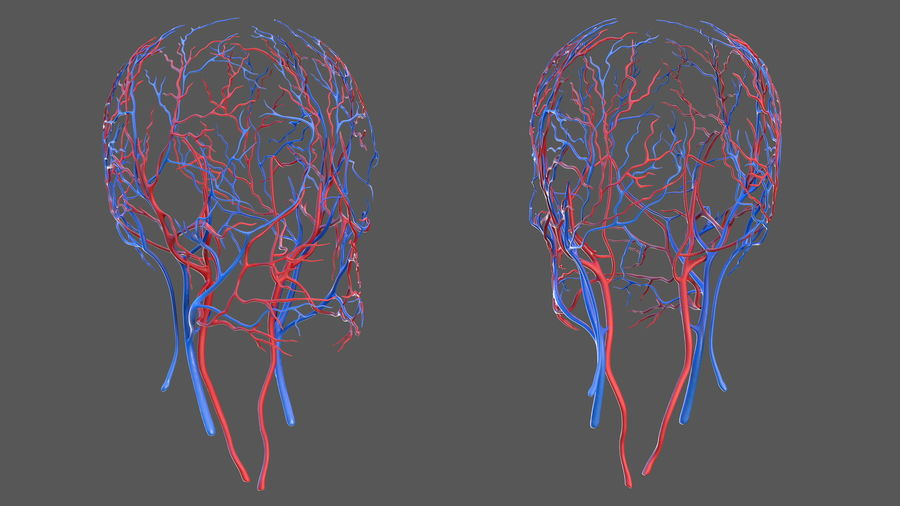 Human Head Cardiovascular System royalty-free 3d model - Preview no. 4