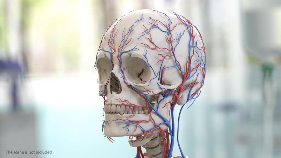 Układ sercowo-naczyniowy ludzkiej głowy royalty-free 3d model - Preview no. 3