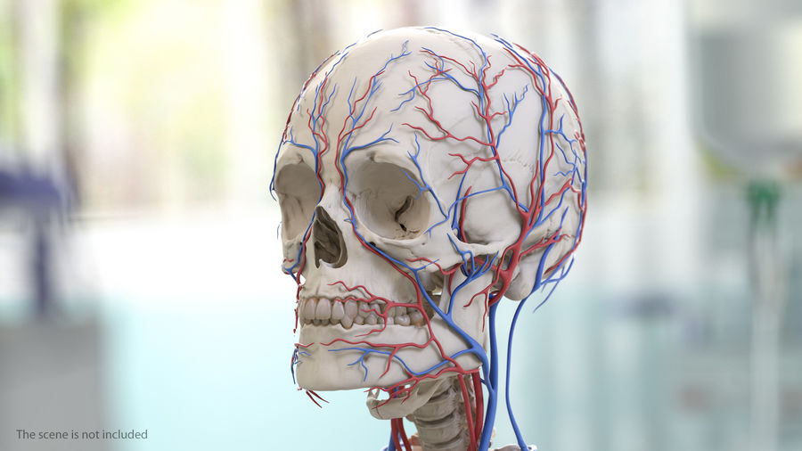 Human Head Cardiovascular System royalty-free 3d model - Preview no. 3