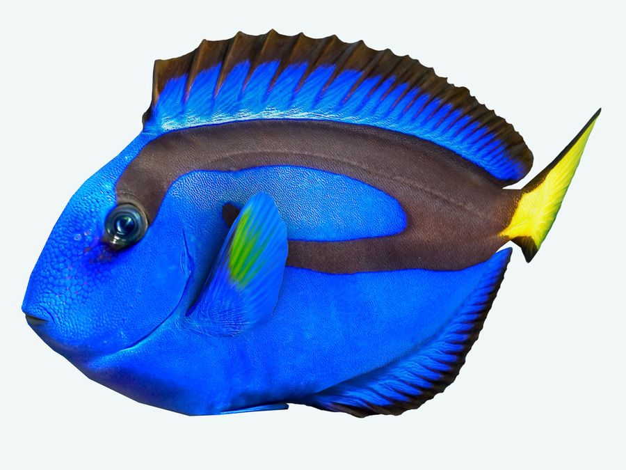 Fish paracanthurus hepatus royalty-free 3d model - Preview no. 3
