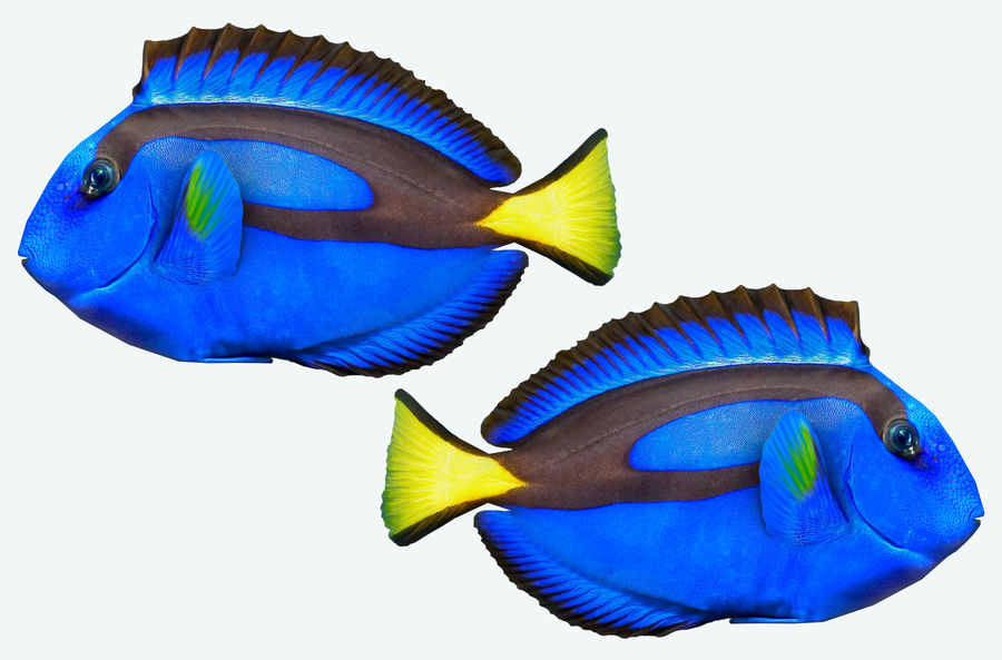 Fish paracanthurus hepatus royalty-free 3d model - Preview no. 4