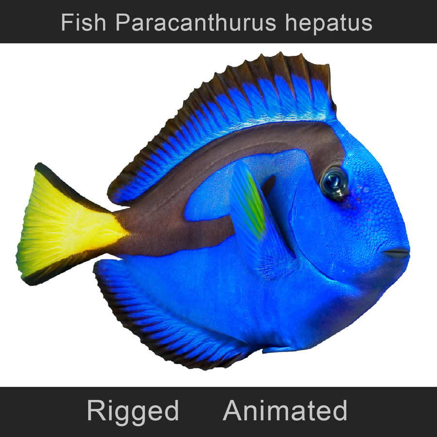 Ryba Paracanthurus hepatus royalty-free 3d model - Preview no. 1
