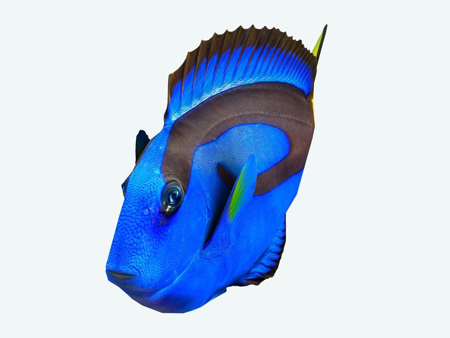 Fish paracanthurus hepatus royalty-free 3d model - Preview no. 2