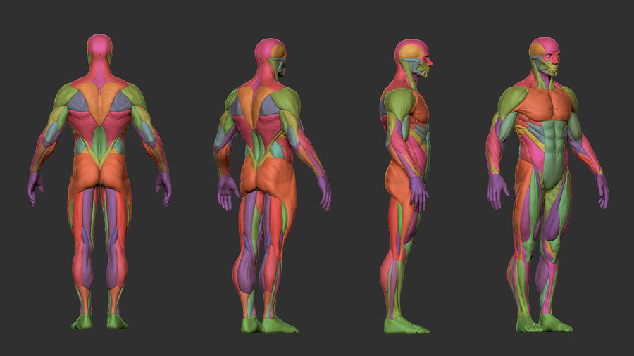 Character - Male Anatomy Body Base HighPoly royalty-free 3d model - Preview no. 7