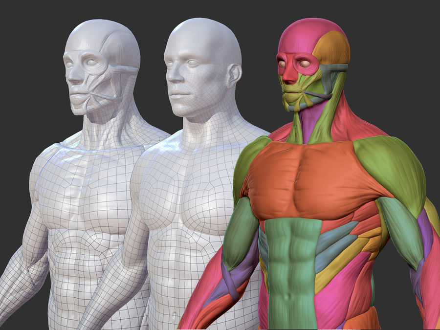 Character - Male Anatomy Body Base HighPoly royalty-free 3d model - Preview no. 1