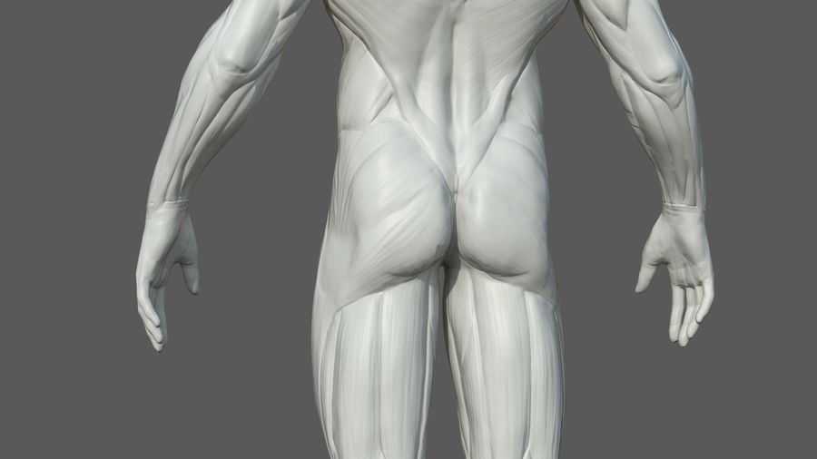Character - Male Anatomy Body Base HighPoly royalty-free 3d model - Preview no. 17