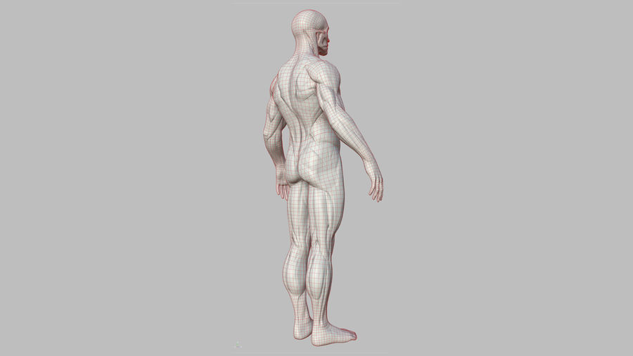 Character - Male Anatomy Body Base HighPoly royalty-free 3d model - Preview no. 25