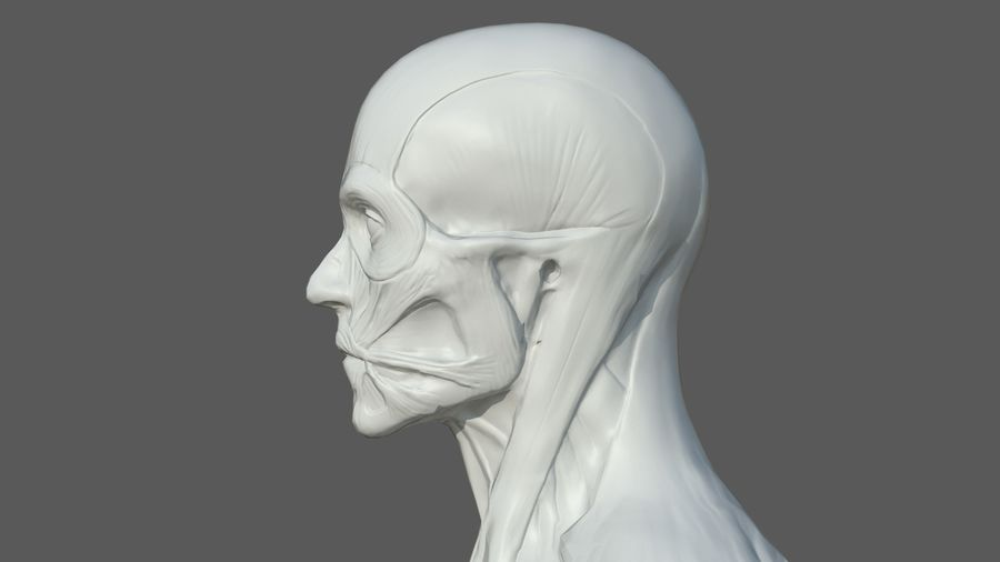 Character - Male Anatomy Body Base HighPoly royalty-free 3d model - Preview no. 19