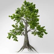 Sassafras Baum 3d model