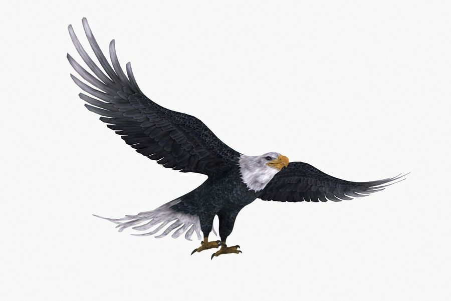 Bald eagle type 01 royalty-free 3d model - Preview no. 6