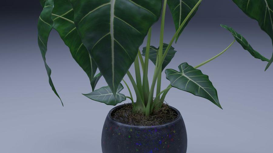 Alocasia Pot plant royalty-free 3d model - Preview no. 2