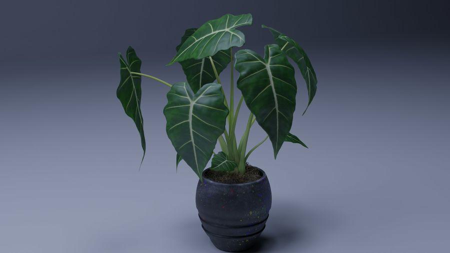 Alocasia Pot plant royalty-free 3d model - Preview no. 1