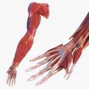 男性手臂肌肉系统 3d model