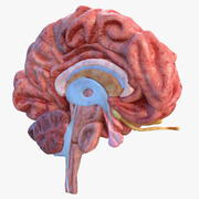 Human Brain Anatomy Section 3d model