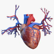 Human Heart and Bronchi 3d model