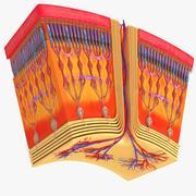 高清视网膜横截面 3d model