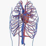 Układ sercowo-naczyniowy człowieka 3d model