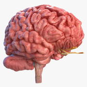 인간의 뇌 전체 해부학 3d model