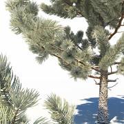 冬の若い松 3d model