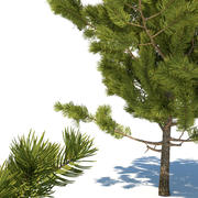 Young pines 3d model