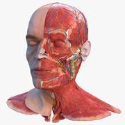 Modèle de tête masculine anatomique avec cou 3d model