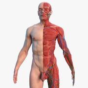 Volledige mannelijke anatomie van het hele lichaam 3d model