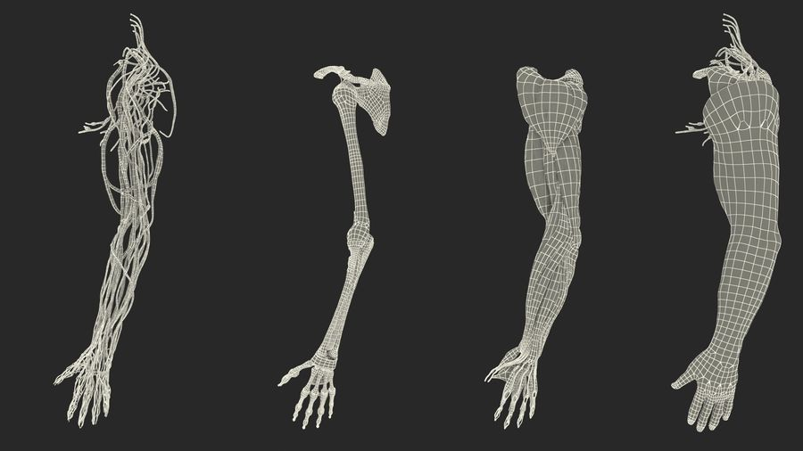 Male Arm Full Anatomy and Skin royalty-free 3d model - Preview no. 39