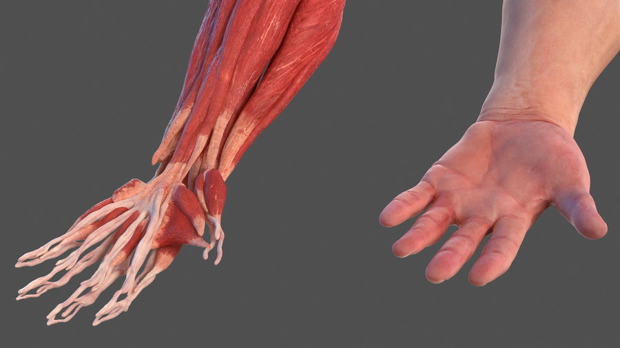 Male Arm Full Anatomy and Skin royalty-free 3d model - Preview no. 11