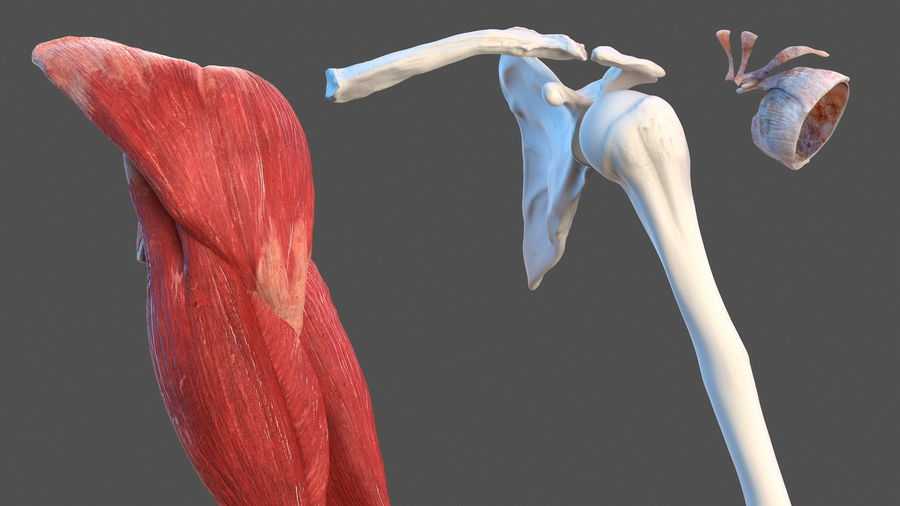 Male Arm Full Anatomy and Skin royalty-free 3d model - Preview no. 5