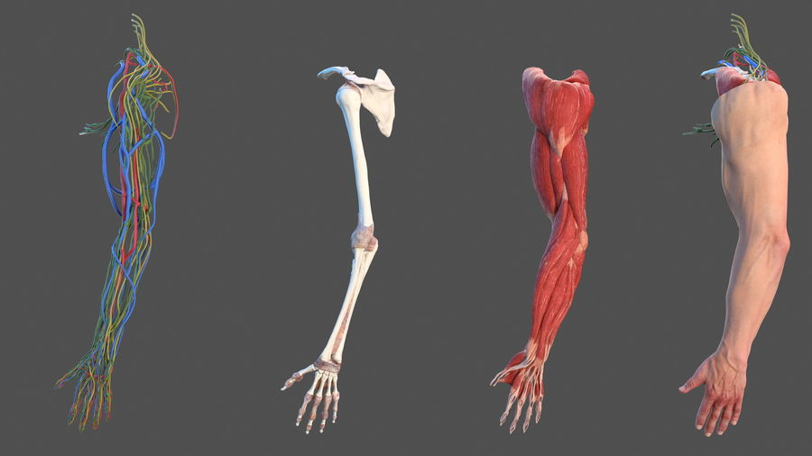 Male Arm Full Anatomy and Skin royalty-free 3d model - Preview no. 2