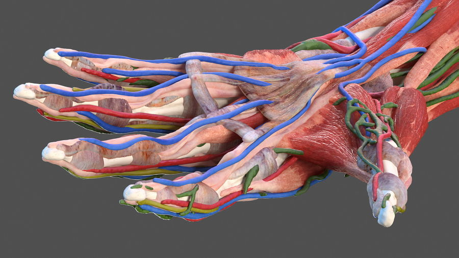 Male Arm Full Anatomy and Skin royalty-free 3d model - Preview no. 23