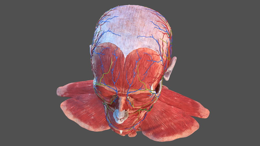 Tête humaine anatomie complète royalty-free 3d model - Preview no. 38