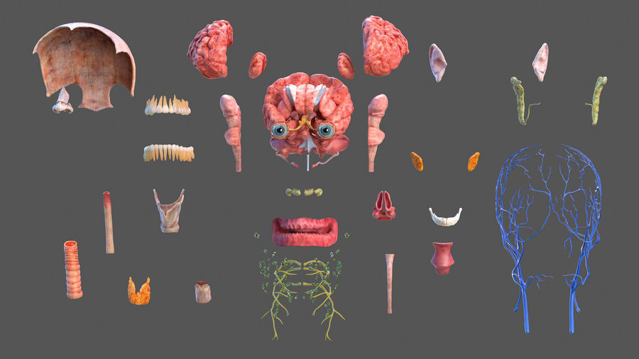 Tête humaine anatomie complète royalty-free 3d model - Preview no. 6