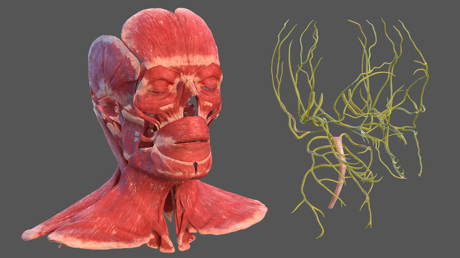 Tête humaine anatomie complète royalty-free 3d model - Preview no. 26