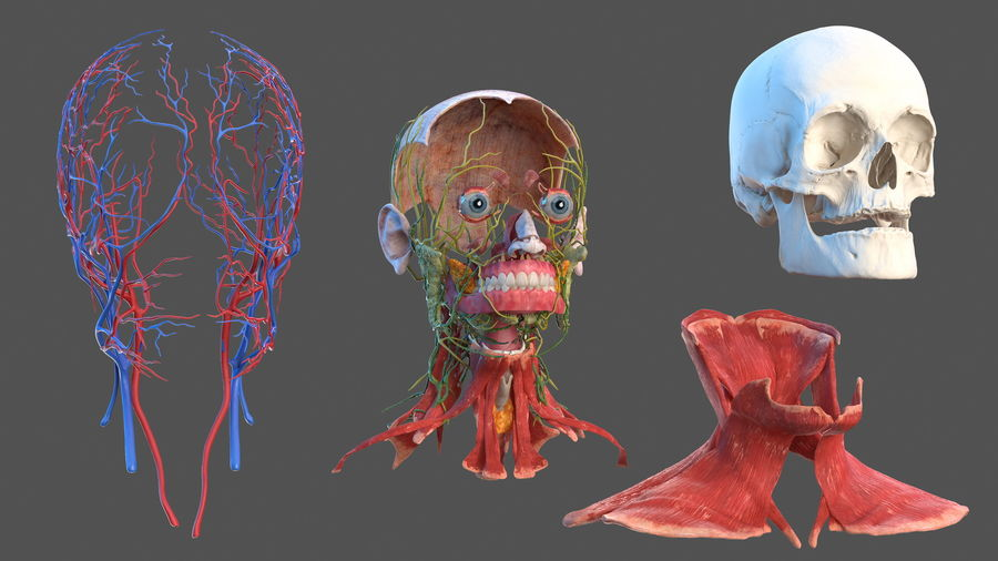 Tête humaine anatomie complète royalty-free 3d model - Preview no. 4