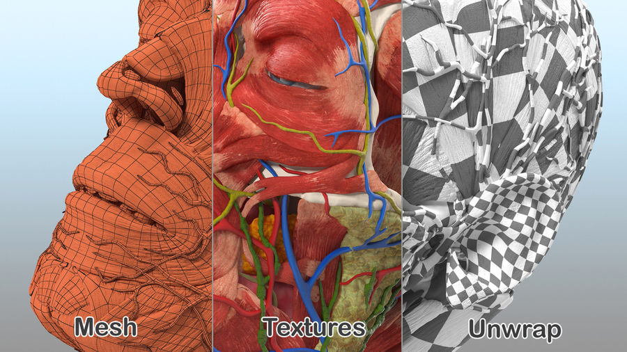 Tête humaine anatomie complète royalty-free 3d model - Preview no. 40