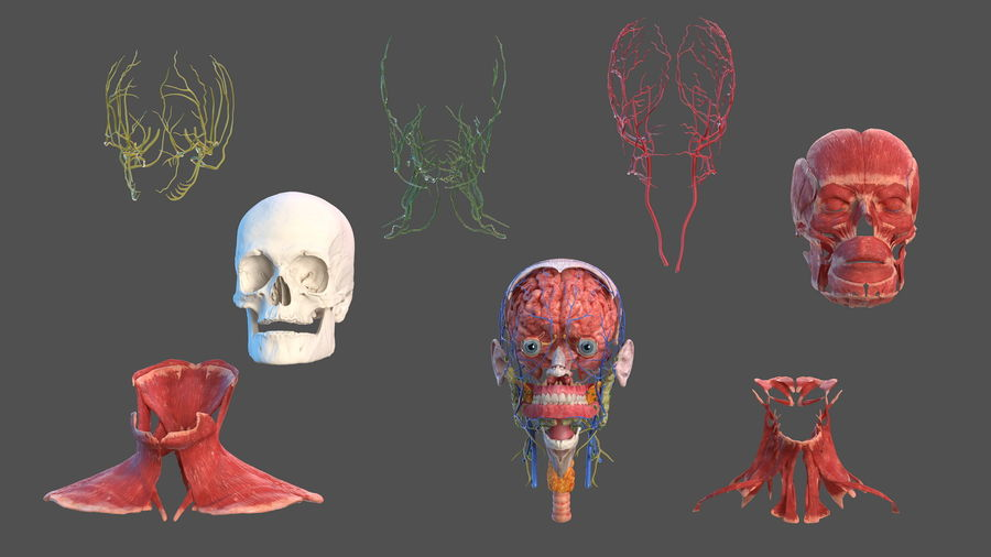 Tête humaine anatomie complète royalty-free 3d model - Preview no. 5