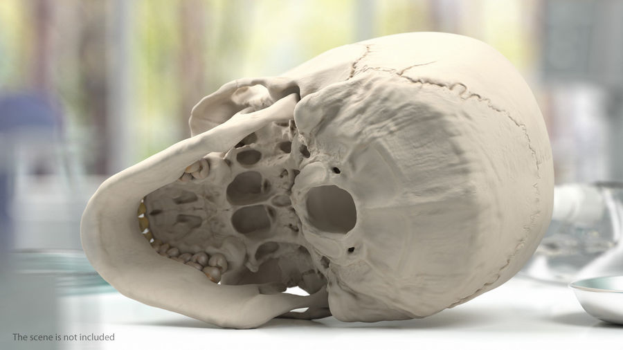 Tête humaine anatomie complète royalty-free 3d model - Preview no. 33