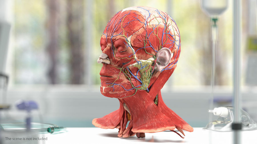 Tête humaine anatomie complète royalty-free 3d model - Preview no. 2