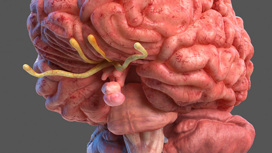 Tête humaine anatomie complète royalty-free 3d model - Preview no. 19