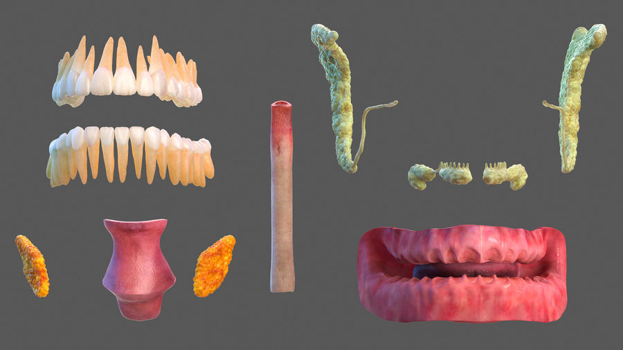 Tête humaine anatomie complète royalty-free 3d model - Preview no. 30