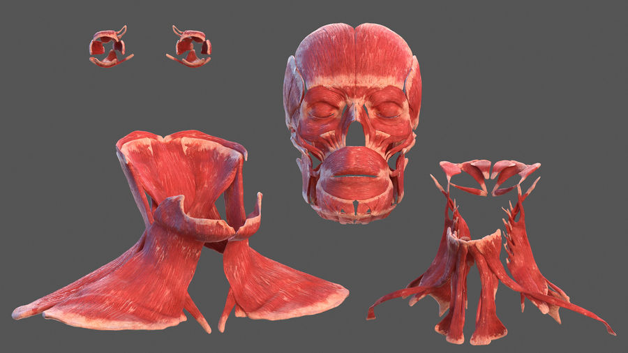 Tête humaine anatomie complète royalty-free 3d model - Preview no. 24