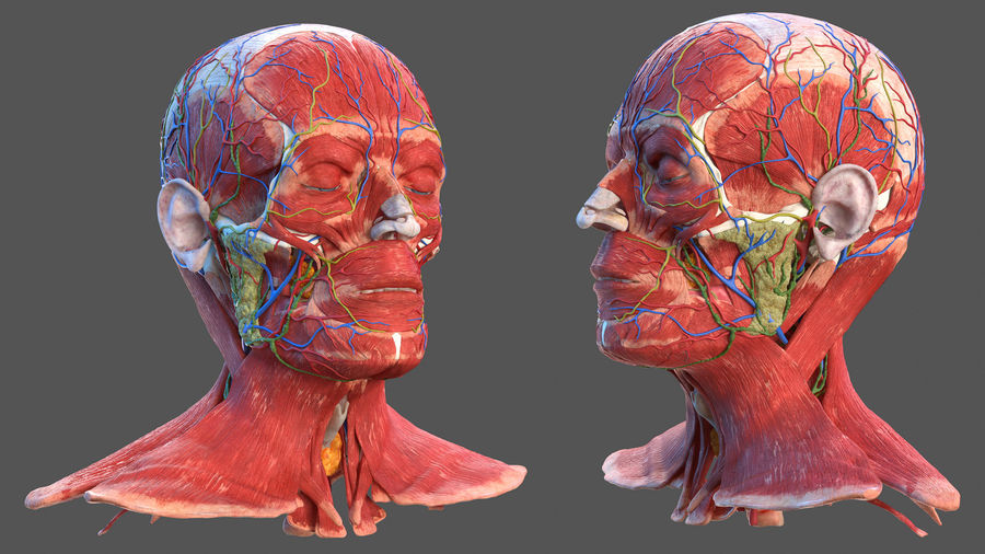 Tête humaine anatomie complète royalty-free 3d model - Preview no. 39