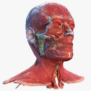 Menselijk hoofd volledige anatomie 3d model