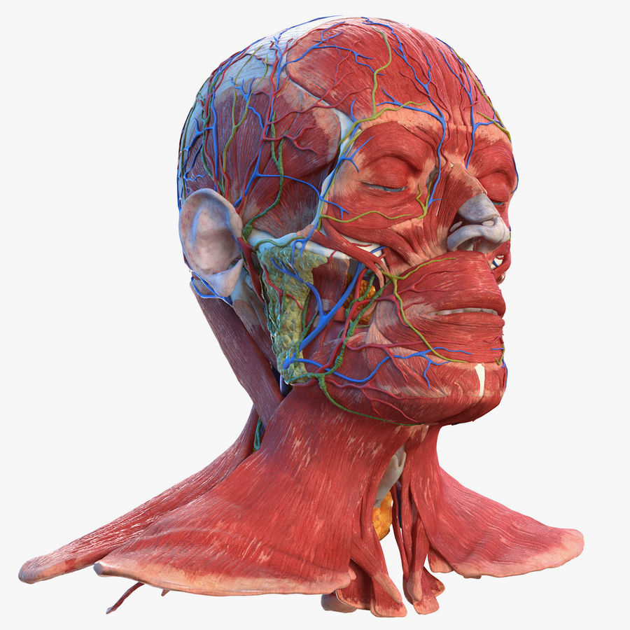 Tête humaine anatomie complète royalty-free 3d model - Preview no. 1