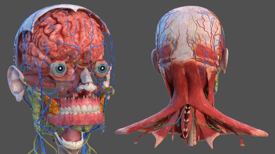 Tête humaine anatomie complète royalty-free 3d model - Preview no. 3