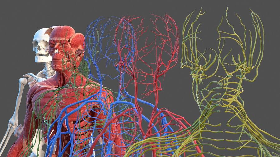 Анатомия мужского тела royalty-free 3d model - Preview no. 7
