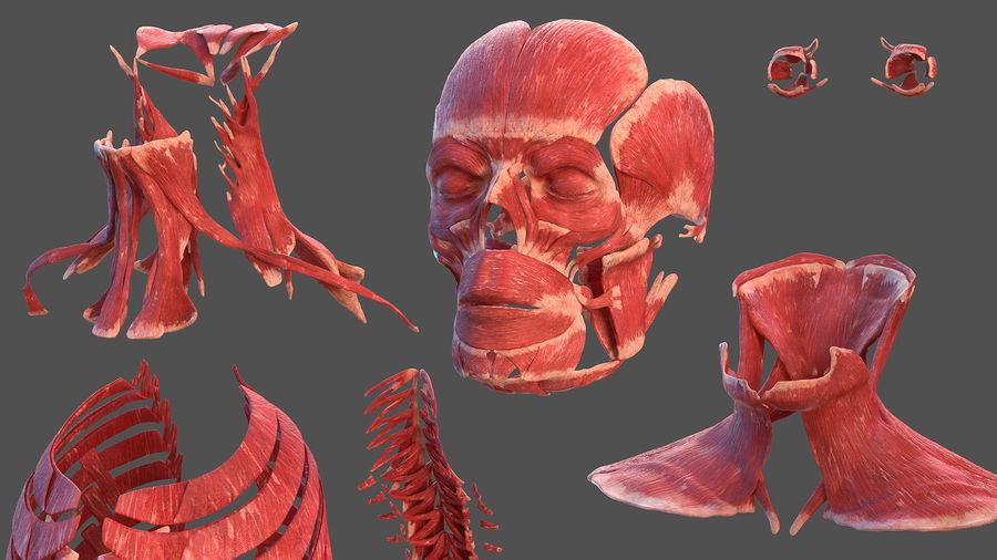 Анатомия мужского тела royalty-free 3d model - Preview no. 36