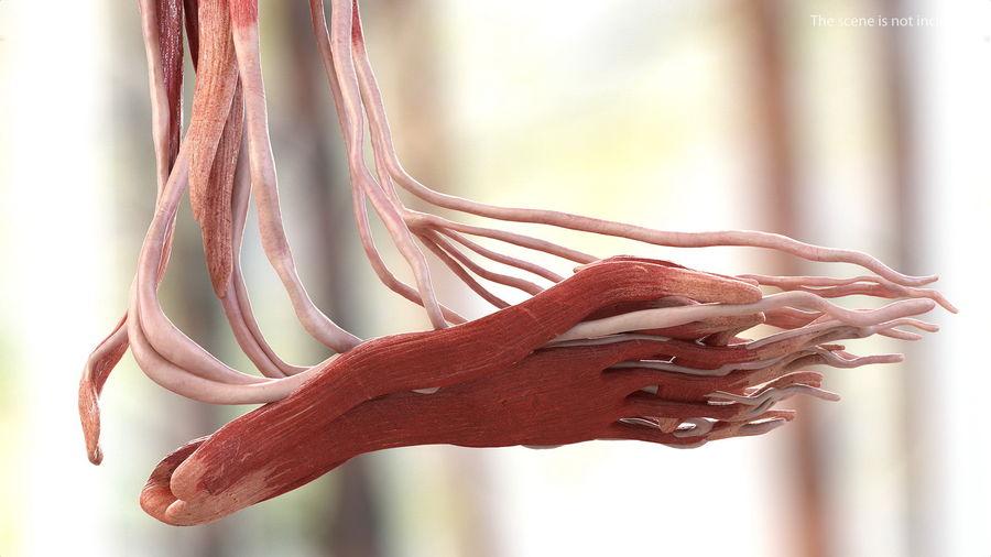 Анатомия мужского тела royalty-free 3d model - Preview no. 32