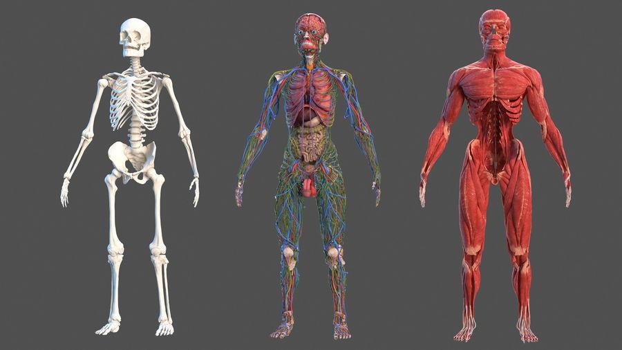 Анатомия мужского тела royalty-free 3d model - Preview no. 5